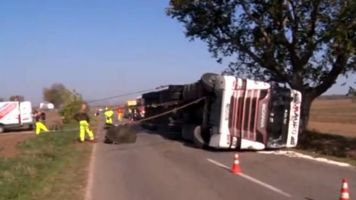 Felborult egy disznókkal teli kamion, az állatok órákon keresztül a pótkocsiban nyomorogtak