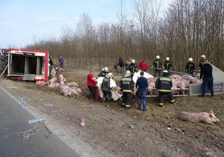 20 disznó pusztult el egy súlyos balesetben!